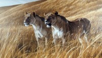 bateman-robert-african-amber-lioness-pair